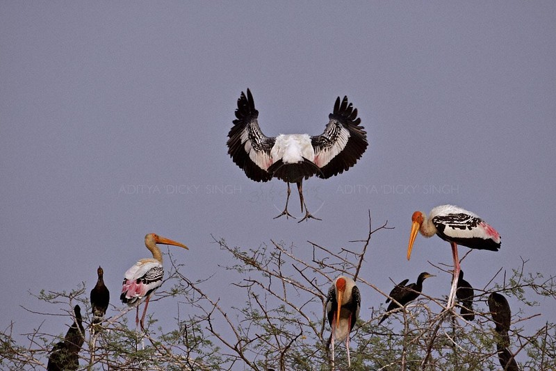 Painted Stork (Mycteria leucocephala) landing on a tree in the heronry at Bharatpur bird snactuary