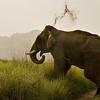 Wide angle shot of an aggressive male tusker elephant