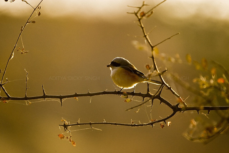 Backlit shrike on a branch
