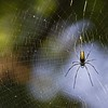 Female Giant Wood Spider (Nephila maculata) in her web in Dudhwa national park