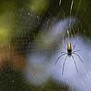 Female Giant Wood Spider (Nephila maculata) in her web in Dudhwa national park