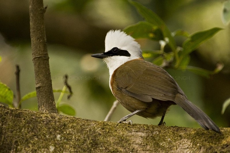White-crested Laughing thrush  (Garrulax leucolophus) on a branch