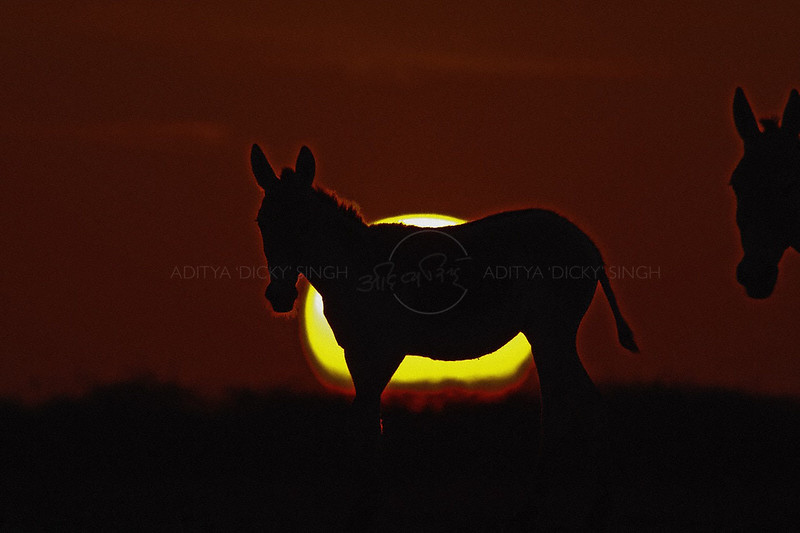 Silhouette of an Indian wild ass or Khur  against the setting sun in Rann of Kutch