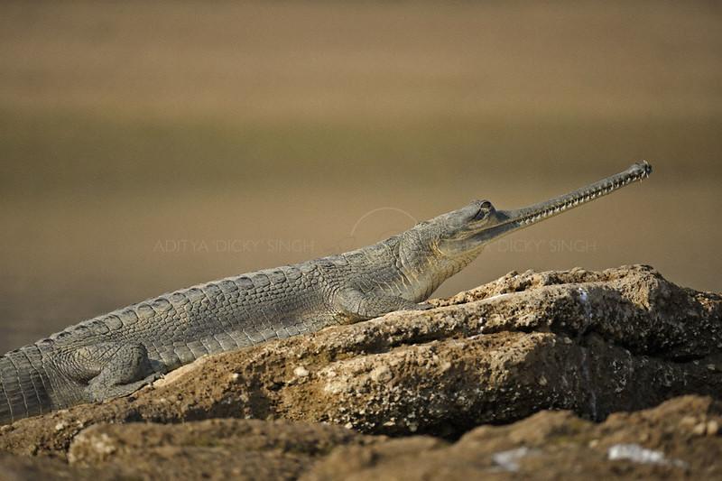Gharial or Gavial (Gavialis gangeticus) basking in the sun in Chambal river