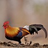 Red Jungle fowl (Gallus gallus) male feeding in a Rhino dung pile in Kaziranga national park in Assam