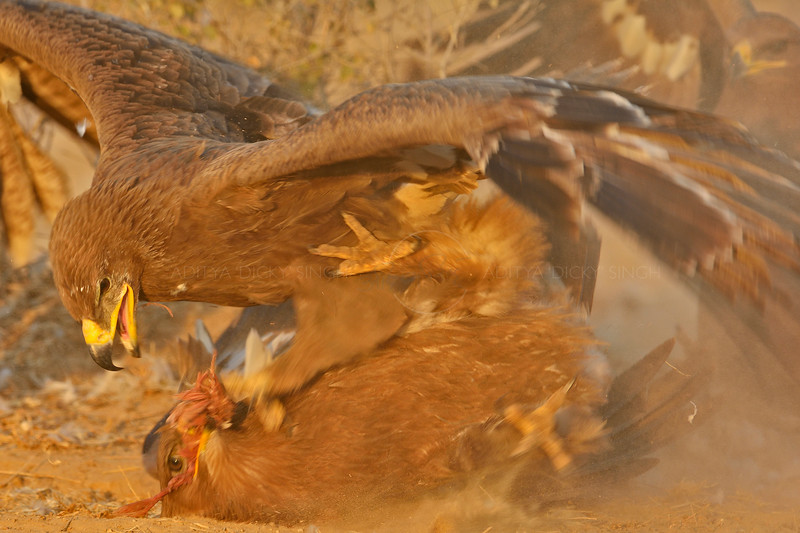 Steppe Eagles (Aquila nipalensis) fighting over a scrap of food in Rajasthan, India