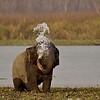 Asian or Asiatic Elephant (Elephas maximus) near a waterhole in the grasslands of Kaziranga national park in Assam