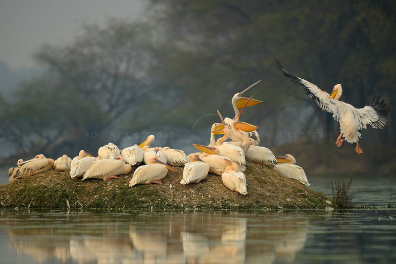 A flock of Great White or Rosy Pelican (Pelecanus onocrotalus) roosting on a small island in a lake in Bharatpur bird sanctuary.