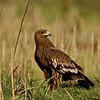 Greater Spotted Eagle (Aquila clanga) sitting in the wetlands of Bharatpur