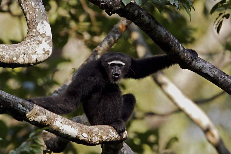 Hoolock Gibbon (Bunopithecus hoolock) male on the tree canopy in northeast Indian state of Arunachal Pradesh