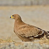 Steppe Eagle (Aquila nipalensis) in Rajasthan, India