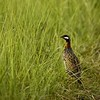 Black francolin (or partridge) on a forest trail in Corbett national park
