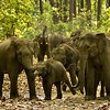 Wide angle shot of an aggressive elephant herd in a forest track