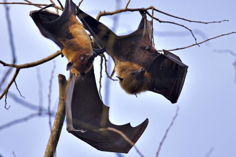Greater Indian Fruit Bats roosting in the day