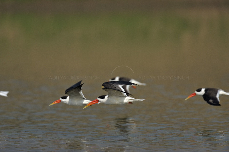 Indian Skimmer (Rynchops albicollis) in river Chambal in north India