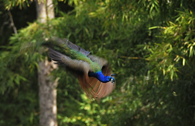 Indian peafowl or Pavo cristatus in flight in the jungles of Kanha national park