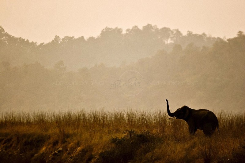Elephant trumpeting in grasslands or chaurs of Corbett National Park at sunset