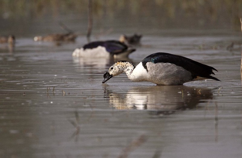 Comb Duck (Sarkidiornis melanotos), formerly known as the Knob-billed Duck, in the wetland of  Bharatpur