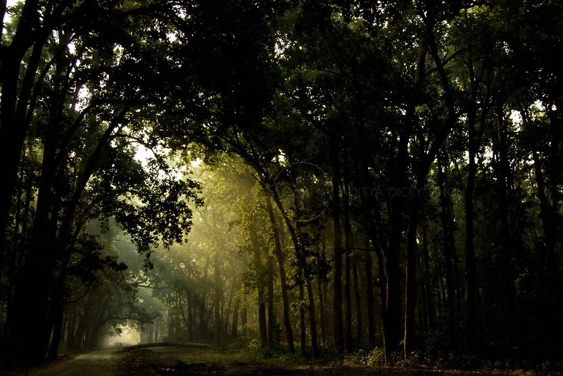 Suns rays filtering through the Sal forests in Corbett National Park