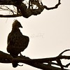 Changeable Hawk-Eagle (Spizaetus cirrhatus) on a branch silhouetted against the sky