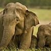 Female elephant with a calf in grasslands of Corbett