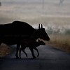 Silhouette of a gaur with a young calf on the road in Kanha national park