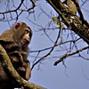 Pigtail macaque (Macaca nemestrina) in a rainforest in the northeastern Indian state of Assam