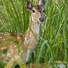Head shot of a female Spotted deer in grasses
