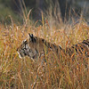 Male tiger in the meadows of Kanha national park
