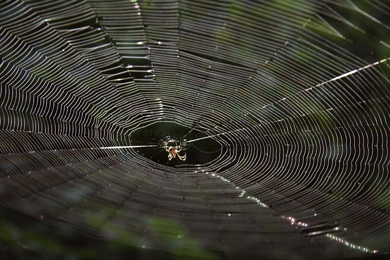 Spider in its orb web