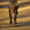 Dhole or Indian wild dog approaching in Kanha national park