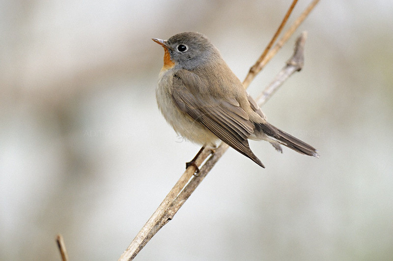Red-breasted Flycatcher (Ficedula parva) in Bharatpur