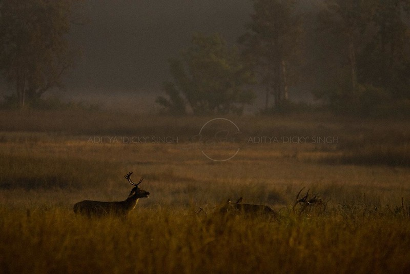 Male Hard ground swamp deer (or Barasinga) in Kanha national park