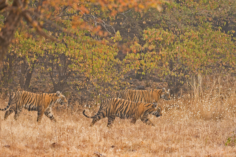 Two tiger cubs walking in a dry forest