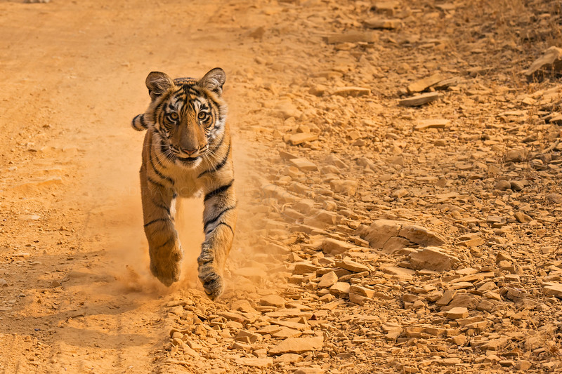 Tiger cub charging in a forest