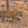 Tiger cub walking in a dry forest
