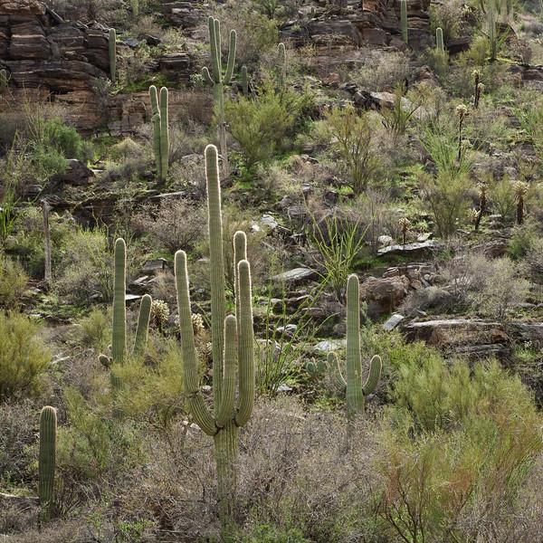 Saguaros on hillside
