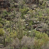 Saguaros on hillside