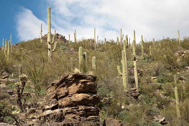 Saguaro hillside