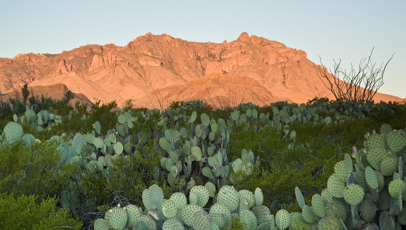 Prickly Pear Cactus, Chisos Mountains