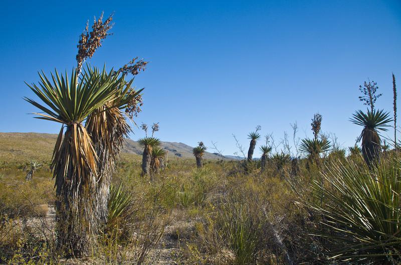 Giant Daggar Yucca, Dagger Flat