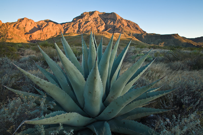 Agave, Chisos Mountains