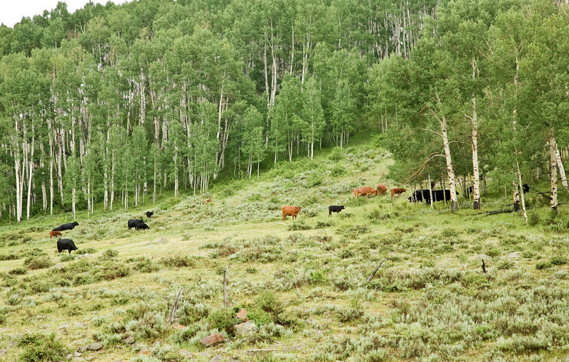 Cattle in Aspens