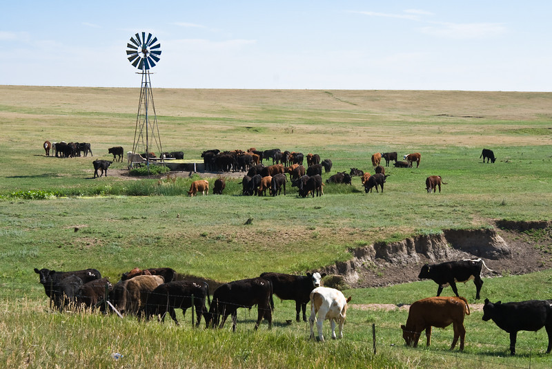 Cattle and Windmill