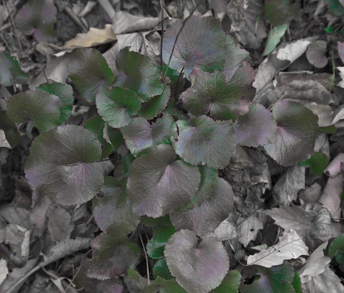 Galyx aphylla