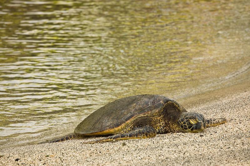 Basking sea turtle, Kona