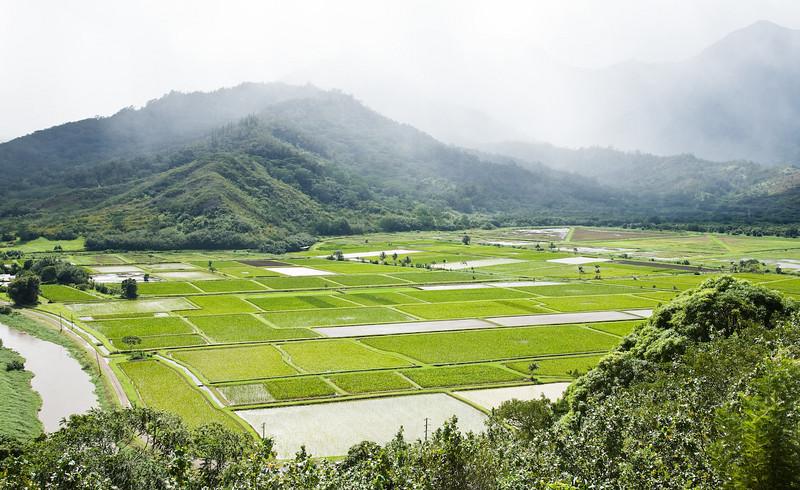 Taro fields, Hanalei Valley, Kaua'i
