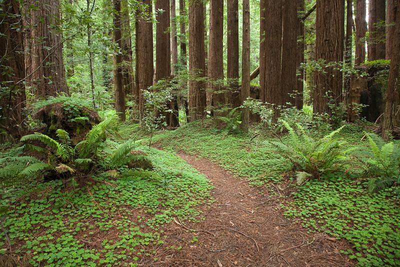 A path through the redwoods, Navarro State Park