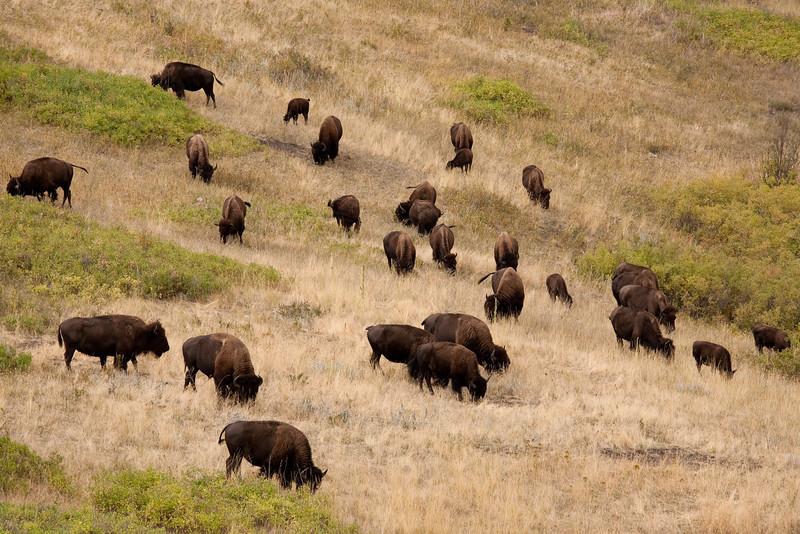 Bison, National Bison Range