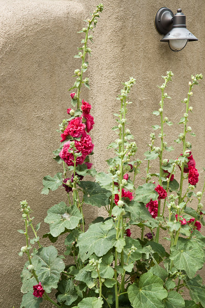 Hollyhocks, Arroyo Seco